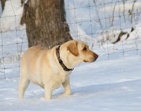 Dog In Snow Royalty Free Stock Images