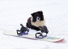 Dog and snowboard. Photo of a dog sitting behind a snowboard royalty free stock photography