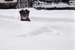 Dog in a snowdrift. stock images