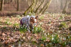 Dog in snowdrops Stock Image