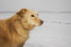 Dog in a snowstorm stock photos