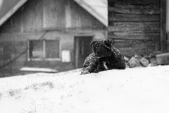 Dog in the snowstorm Royalty Free Stock Images