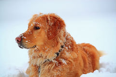 Dog in Snowstorm. Lovely Golden Retrieve dog in Winter Snowstorm Royalty Free Stock Image