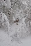 Dog in snowy forest. Scenic view of snow covered forest with English Pointer dog in background, Winter scene Royalty Free Stock Photography