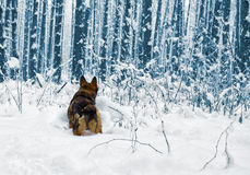 Dog in the snowy forrest Royalty Free Stock Photos