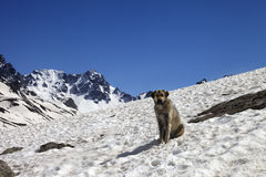 Dog in snowy mountains at spring Royalty Free Stock Photos
