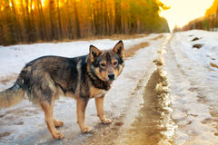 Dog on the snowy road Stock Image
