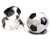 Dog and soccer ball Royalty Free Stock Image