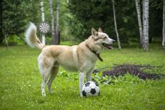 Dog with soccer ball royalty free stock images