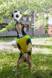 Dog and soccer. Funny dog is playing with soccer ball in park Royalty Free Stock Photography