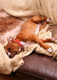 Dog on sofa Royalty Free Stock Images