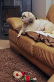 Dog in sofa. Dog watching TV from the sofa with her toy laying on the ground Stock Photo