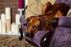 Dog on sofa in front of fireplace watching its master. Rhodesian Ridgeback dog lying on sofa in front of a stylized candle fireplace watching its master Royalty Free Stock Photography