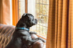 Dog on sofa looking out of window. Staffordshire bull terrier dog sitting up on a leather sofa in a home with his paws on the back looking out of a traditional Stock Photos