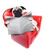Dog sofa newspaper. Pug dog reading newspaper while sitting relaxed on a cool red sofa or couch Royalty Free Stock Images
