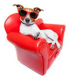 Dog sofa. Dog sitting on red sofa relaxing and resting while chilling out Royalty Free Stock Image