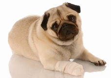 Dog with sore paw stock photography