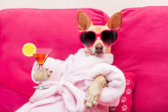 Dog spa wellness. Chihuahua dog relaxing and lying, in spa wellness center ,wearing a bathrobe and funny sunglasses, drinking a martini cocktail royalty free stock images