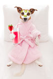 Dog spa wellness. Jack russell dog relaxing  and lying, in   spa wellness center ,getting a facial treatment with  moisturizing cream mask and cucumber, drinking Stock Photography