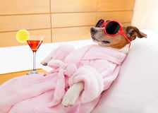 Dog spa wellness. Jack russell dog relaxing and lying, in spa wellness center ,wearing a bathrobe and funny sunglasses , martini cocktail inlcuded stock images