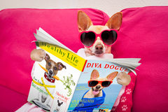 Dog spa wellness reading magazine. Chihuahua dog relaxing with beauty mask in spa wellness center ,reading a magazine and the news on newspaper royalty free stock image