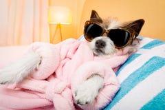 Dog spa wellness salon. Cool funny poodle dog resting and relaxing in spa wellness salon center ,wearing a bathrobe and fancy sunglasses stock photography