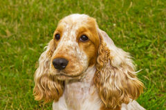 Dog Spaniel breed Royalty Free Stock Photo