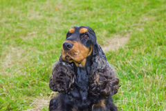 Dog Spaniel breed Royalty Free Stock Image
