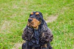 Dog Spaniel breed Royalty Free Stock Image