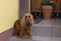 Dog - Spaniel royalty free stock photo