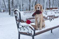 Dog spaniel of golden color with flowers on snow in the winter royalty free stock photo