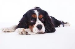 Dog spaniel Royalty Free Stock Photography