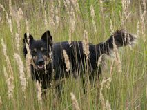 Dog in spikelets. A black dog walks through a meadow among spikelets. Happy summer time royalty free stock images