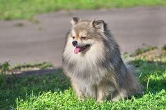 Dog of the Spitz breed squintes in the sun with the tongue sticking out. Spitz is a decorative breed of dogs. Spitz breeds of dogs, characterized by sharp ears stock photography
