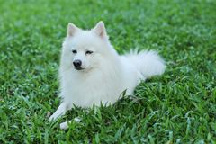 Dog Spitz breed. A white Japanese Spitz dog Meadow on the grass Stock Images