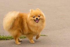 Dog Spitz Close-up Royalty Free Stock Photos