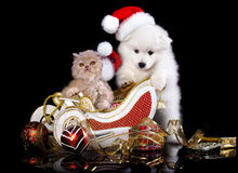 Dog spitz  and kiten Persian  wearing a santa hat Stock Photography