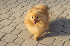 Dog Spitz Stock Photography