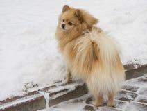 Dog Spitz Stock Images