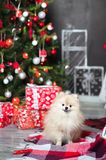 A dog of the Spitz for the New Year on the background of a decorated Christmas tree. Spitz close-up on Christmas among gifts. A small dog of the Spitz for the royalty free stock images