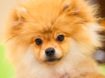 Dog spitz orange. Small dog breeds Stock Images