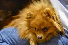 Dog Spitz sitting on the lap of mistress stock images