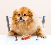 Dog Spitz is sitting at the table. With knife and fork Royalty Free Stock Image