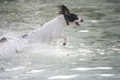 Dog splash. Springer spaniel splashing through the water Stock Image
