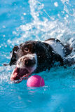 Dog Splashes While Retrieving Ball In Pool Royalty Free Stock Photos
