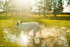 Dog splashing in puddles Stock Photo