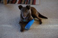 A dog with a splint on her leg. Stock Photo