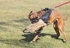 Dog sport Royalty Free Stock Image