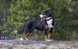 Dog in the spring forest. Entlebucher Sennenhund or Entlebucher Mountain Dog in the spring pine trees forest Royalty Free Stock Photography