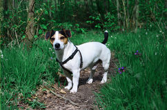 Dog in spring forest. Jack Russel Terrier in spring forest Royalty Free Stock Images